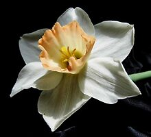 White Daffodil On Black Satin by WildestArt