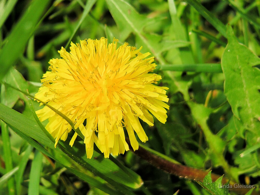 Behold the Lowly Dandelion by Linda Gleisser