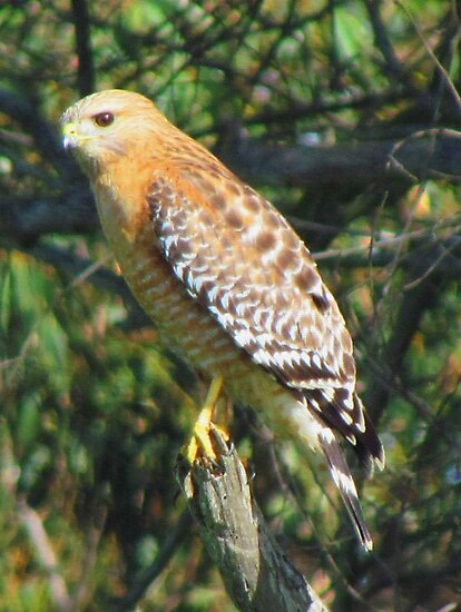 Juvenile Red Shouldered Hawk by Bunny Clarke