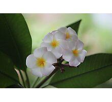 Plumeria Cascade Photographic Print