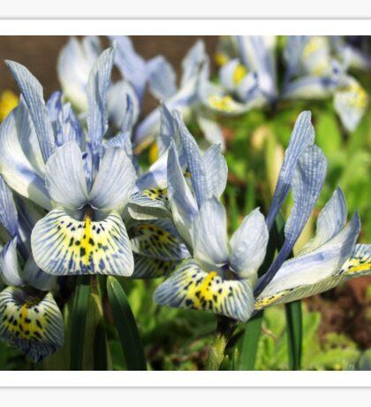 Dwarf Iris Sticker