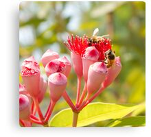 Bees gather honey from a eucalyptus flower Canvas Print