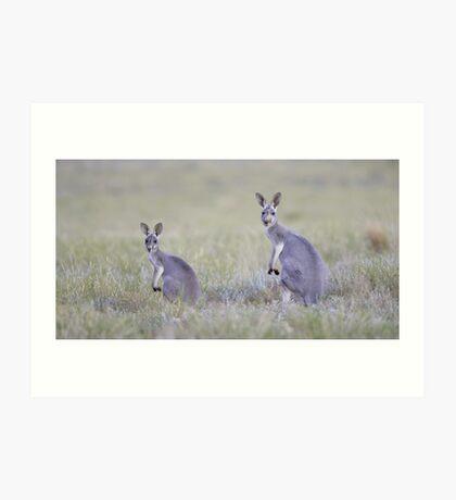 Red Kangaroos Art Print