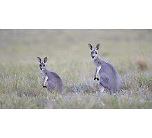 Red Kangaroos Photographic Print