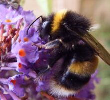 Busy Bee on a Buddleia Sticker