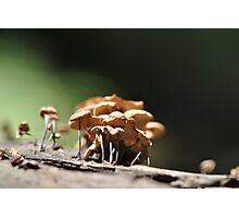 Dried Marasmius sp. Photographic Print