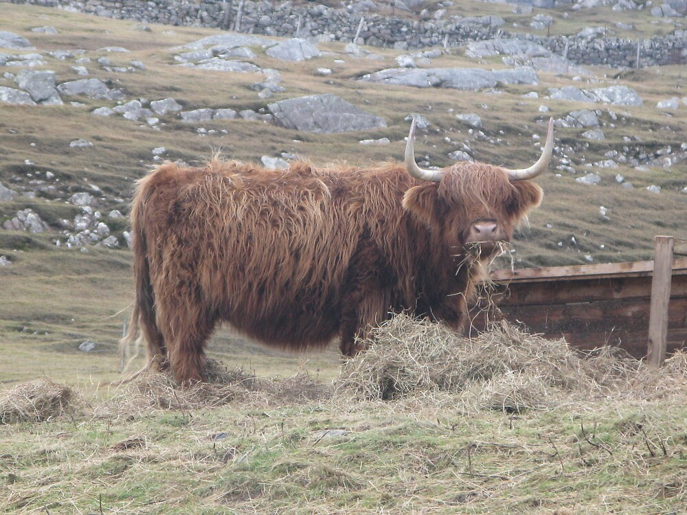 Highland Cow by IslandImages