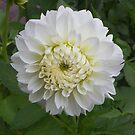 Dahlia Beauty by mussermd