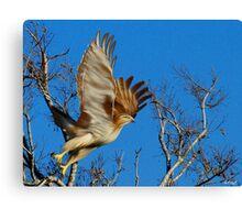 Hawk Lift Off Canvas Print