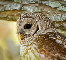 Barred Owl Profile by Paul Wolf