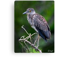 Juvenile in the Rain - Natural Version Canvas Print
