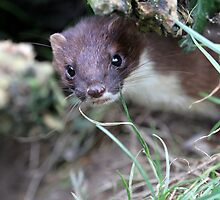 Stoat by Christopher Lloyd