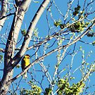Cape May Warbler by Starsania