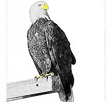 Bald Eagle: Haliaeetus leucocephalus by John Williams