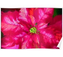 Poinsettia Pink And Red Poster