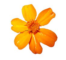 Orange Yellow Flower Print On White by DreamByDay