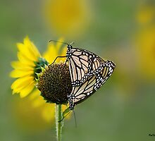 Two Monarchs by KatMagic Photography
