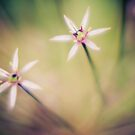 Allium Schuberti by Alice Kent