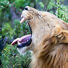 Yawning African Lion by parischris