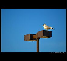 Larus Delawarensis - Ring-Billed Gull On A Stop & Shop Parking Lot Light Pole  by © Sophie W. Smith