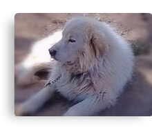 Ivan the Great Pyrenees Canvas Print