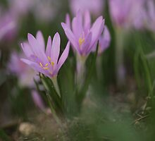 Peurple Steven's Meadow-saffron by PhotoStock-Isra