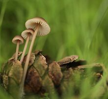 Clustered Pine Cone Bonnet mushrooms by pinecone  by PhotoStock-Isra