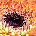 Valentine Gerbera Macro by Teresa Zieba
