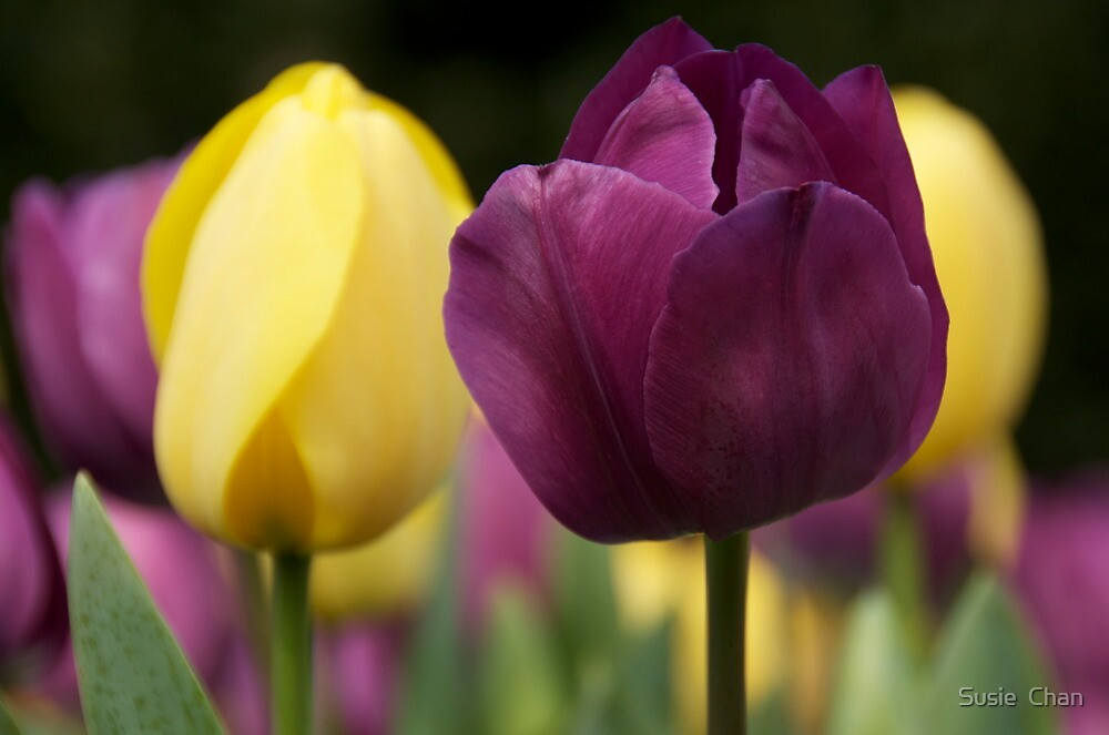 Tulips at Araluen by Susie  Chan