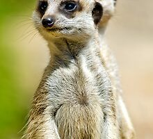 Two Meerkats Guard The Burrow. by Nicholas Griffin