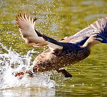 A Pacific Black Duck Takes Flight. by Nicholas Griffin