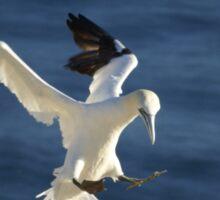 Landing -- Northern Gannet Sticker
