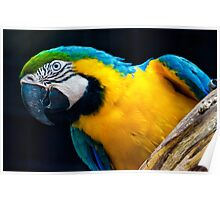 Blue And Gold Macaw. Poster