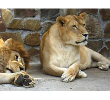 Lion and a lioness have a rest Photographic Print