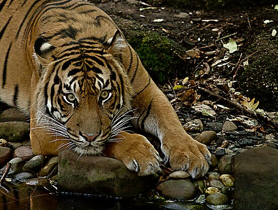 Bored Tiger by collpics