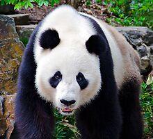 Portrait Of A Giant Panda. by Nicholas Griffin