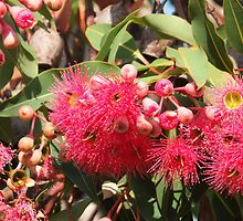 Flowering Gum by jainiemac