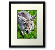 Face Off With A Kangaroo. Framed Print
