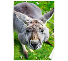 Face Off With A Kangaroo. Poster
