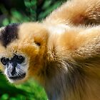 A Female White Cheeked Gibbon. by Nick Egglington