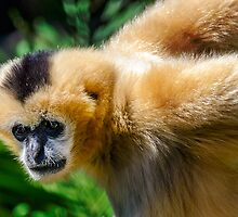 A Female White Cheeked Gibbon. by Nicholas Griffin