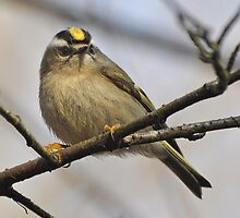Golden Crowned Kinglet by Carl Olsen