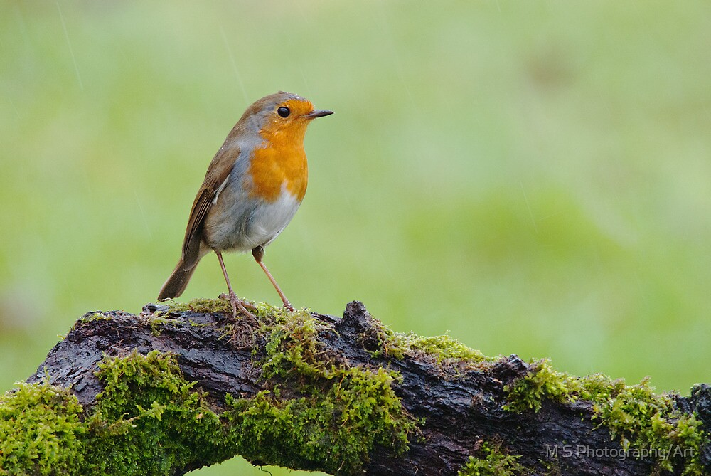 Robin in the rain by M.S. Photography/Art