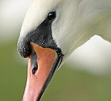Swan up close by LisaRoberts