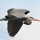 Grey Heron by Delboy10
