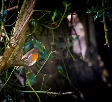 Robin in Holly Tree by Tim Waters