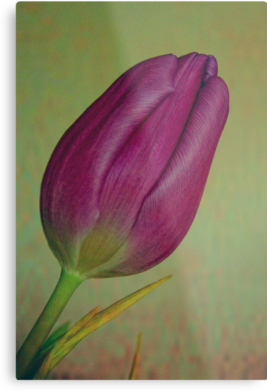 6/52 project Tulip by Karen  Betts