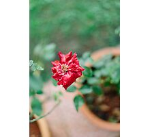 rain drenched red rose Photographic Print