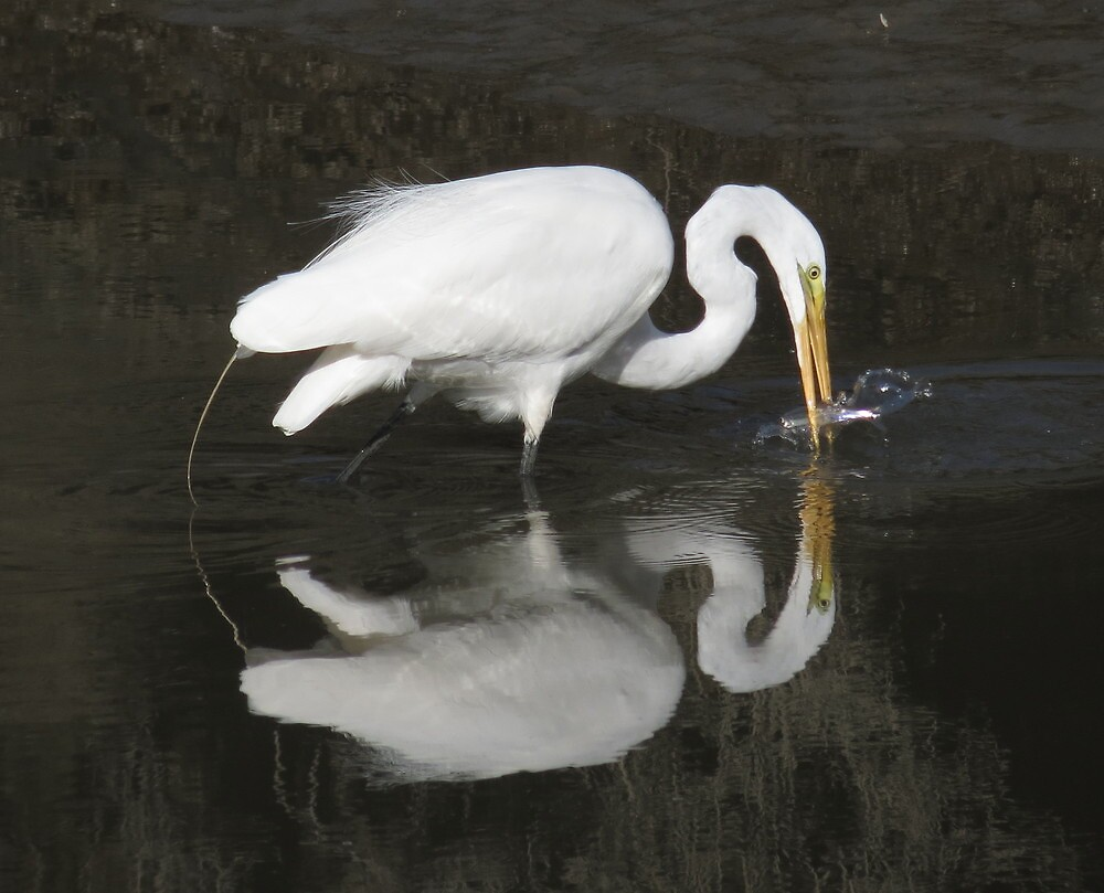 mine all mine Great Egret by Alex Call