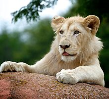 Lion Cub Dry Brush by PrecisionImages